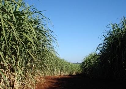 BNDES deve anunciar linha para renovação de canavial, diz diretora